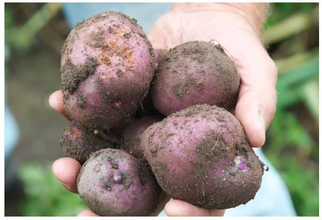 tanam kentang