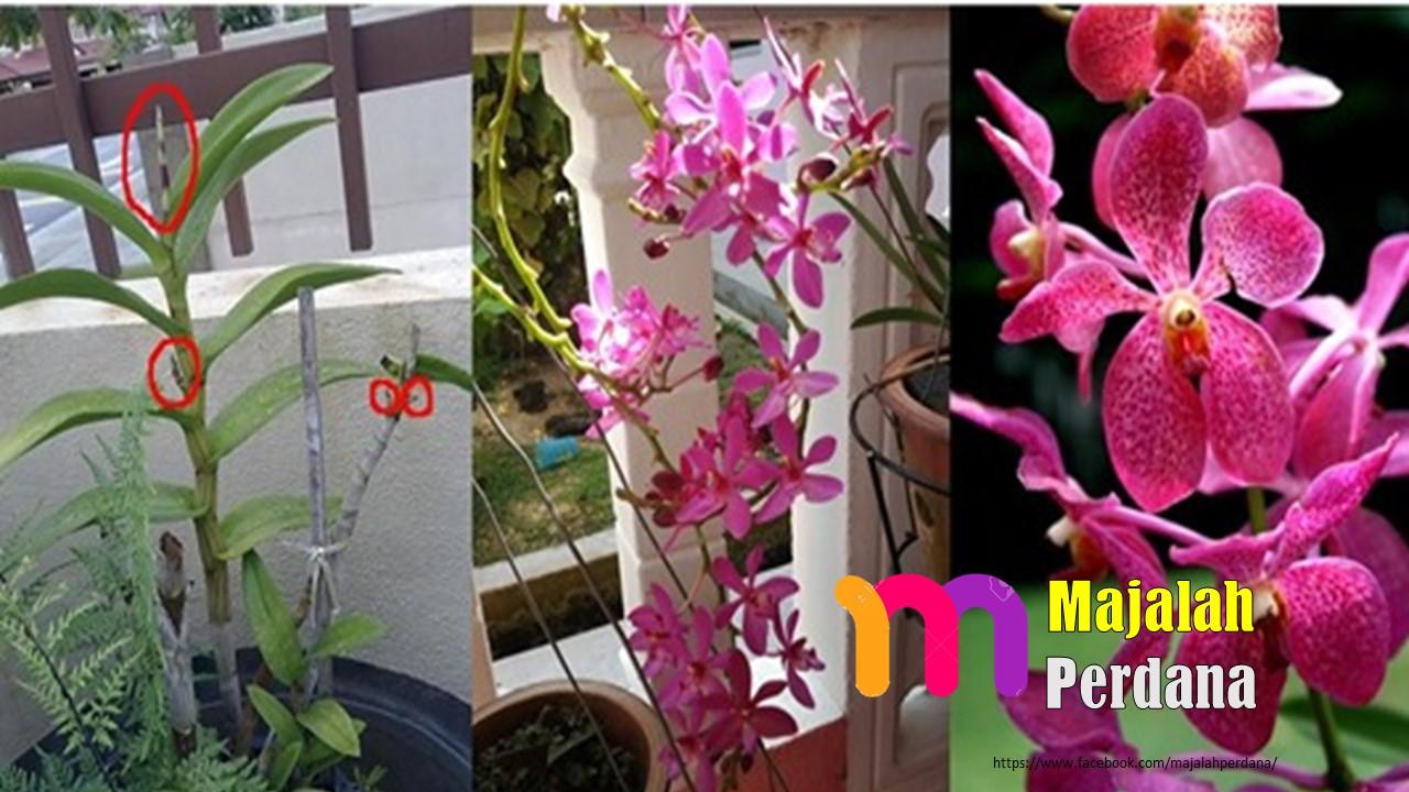 Baja Orkid Yang Malas Berbunga